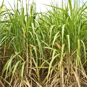suikerriet-cholesterol-choldown