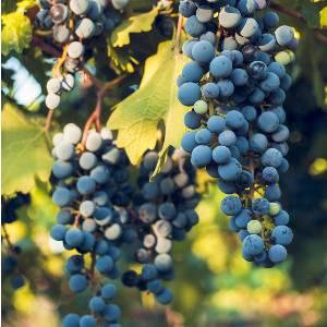 druivenpit-ant-age